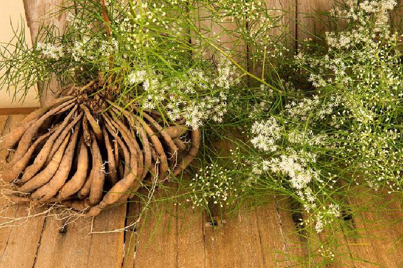 Shatavari – Favourite Fertility Herb